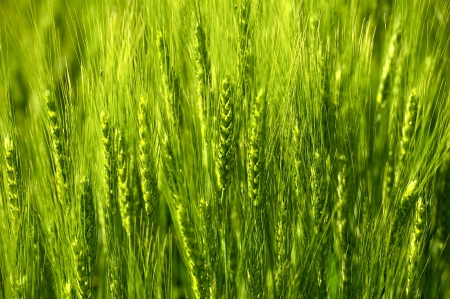 Green Rye Ears Background - Horizontal Photo. Organic Rye Photo Background Theme. Food Photo Collection. photo