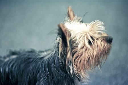 silky terrier: Giovane Terrier Puppy - Giovane Profilo Terrier Silky. Animali Photo Collection.