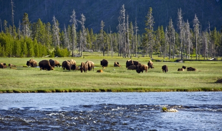 american bison: Yellowstone Landscape and Ecosystem - American Bisons ( Buffalo ) in the Greater Yellowstone - Firehole River. Nature Photo Collection