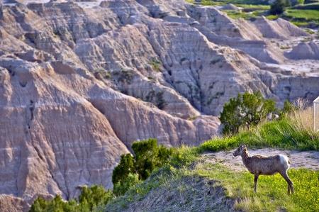 Badlands Wildlife Animals - Badlands Bighorn Sheep. South Dakota, USA. photo