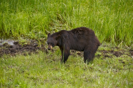 hibernate: Wild Living Yellowstone Black Bear (Ursus Americanus). Yellowstone National Park Wildlife. Animals Photo Collection