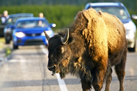 Buffalo on a Road in the Yellowstone National Park, Wyoming USA. Yellowstone Wildlife in Photography.  photo