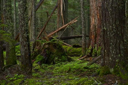 deep roots: Deep Mossy Forest of Montana. Montana, U.S.A. Forest Landscape. Nature Photo Collection. Stock Photo