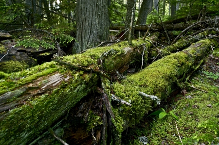 deep roots: Mossy Logs in Deep Forest. Glacier National Park, Montana, USA. Mossy Forest Landscape Stock Photo