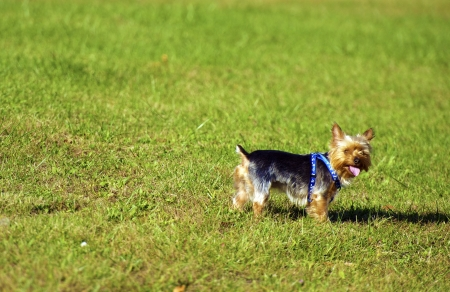 silky terrier: Dog on Lawn - Australian Silky Terrier having Fun on a Backyard. Pets Photo Collection Stock Photo