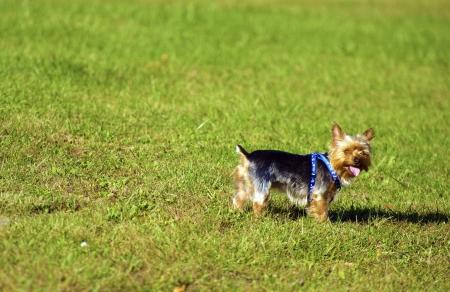 silky terrier: Dog on Lawn - Australian Terrier Silky il divertimento su un cortile. Animali Photo Collection Archivio Fotografico