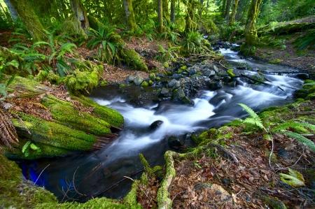 helechos: Rainforest Creek - Parque Nacional Olympic, Washington, EE.UU. Stream un hermoso bosque. Foto de gran angular.