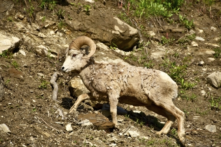 Montana Bighorn Sheep. Montana Wildlife Photo Collection. photo