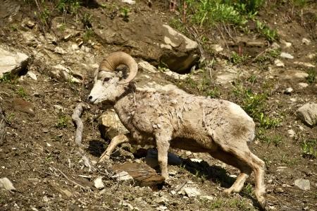 rocky mountain bighorn sheep: Montana Bighorn Sheep. Montana Wildlife Photo Collection. Stock Photo