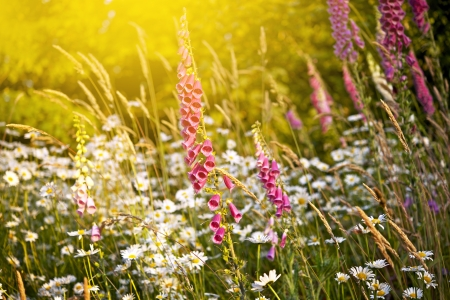 daises: Summer Meadow in Pacific Northwest - Olympic National Park Meadow  Wildflowers. Nature Photography Collection.