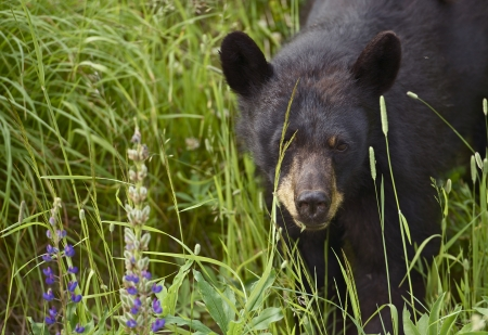 hibernate: Canadian Black Bear - Young Black Bear Spotted Near Squamish, BC, Canada. Black Bear Closeup. Wildlife Photography Collection Stock Photo