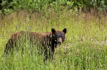 oso negro: Oso negro en el verano - Columbia Británica, Canadá. Canadiense de Vida Silvestre Colección de Fotografía.