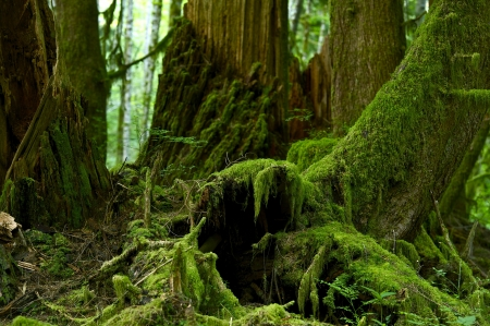 tree canopy: Mossy Forest Details - Pacific Northwest Rainforest Habitat. Mossy Rainy Forest. Nature Photo Collection.