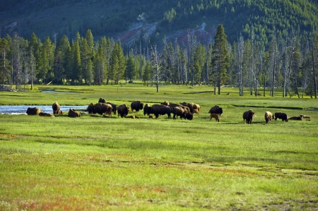 american bison: American Buffalo in Yellowstone National Park. North American Wildlife Photo Collection.