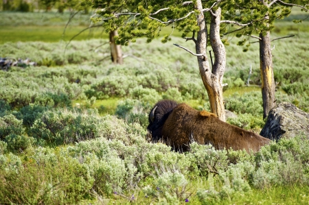 Lonely Bison in the Yellowstone National Park. Bison Under the Tree. Wildlife Photography Collection. photo