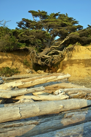 levitating: Levitating Beach Tree - Pacific Ocean Beach, Washington State USA. The Power of the Nature.
