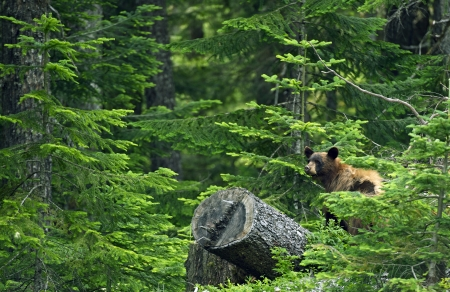 hibernate: Black Bear in Forest - British Columbia, Canada. Black Bear in His Habitat. Canadian Wildlife Photography Collection.