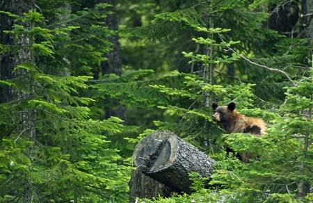 oso negro: Oso negro en el bosque - British Columbia, Canad�. Oso negro en su h�bitat. Canadian Wildlife Photography Colecci�n. Foto de archivo