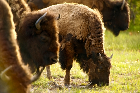 wildlife preserve: Yellowstone American Bison - Yellowstone National Park Wildlife. Wild Animals Photo Collection.