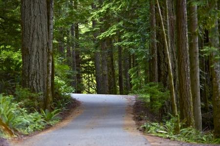 cedar: Rainforest Pavement Road - Olympic National Park, Washington USA. Large Cedar Trees. Nature Photo Collection Stock Photo