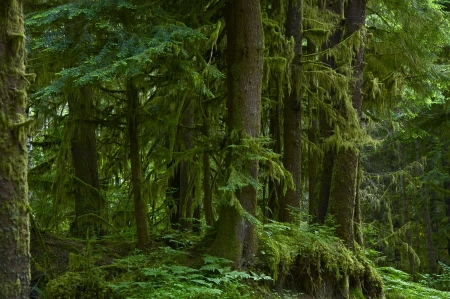 with moss: The Forest - Deep Mossy Washington State (USA) Forest. Olympic National Park, WA, USA.