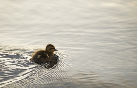 dabbling: Young Shaggy Black American Duck on the Lake. Washington State Wildlife Photo Collection.