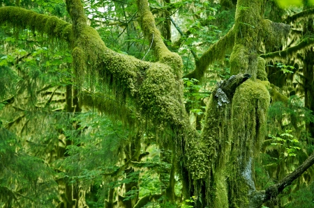 tree canopy: Mossy Tree in Olympic National Park Rainforest. Washington State Photo Collection. Stock Photo