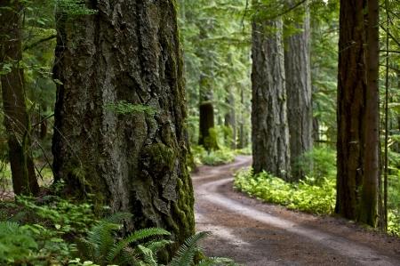 cedar: Primitive Forest Road - State of Washington, USA. Rainforest Landscape. Nature Photo Collection.