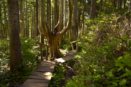 Rainforest Hiking Theme  Wooden Pathway in the Olympic National Park, Washington, USA  photo