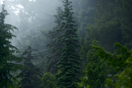 cedars: Mysterious Forest - Foggy Washington State Forest