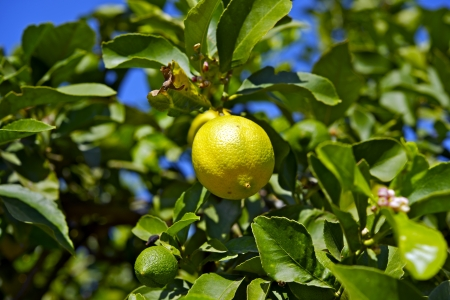 Sucursales Lemon Tree con frutas de lim�n. Alimentos colecci�n de fotos. photo