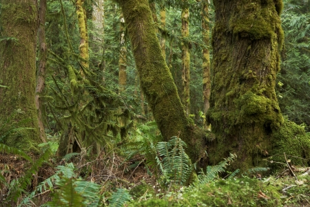 Northwest Rainforest - Washington State Olympic National Park, USA. Mossy  Rainforest Scenery. Washington State Photo Collection. photo