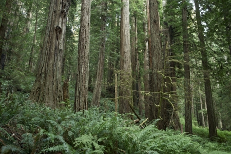 Redwood Forest Landscape - Redwood Forest in Northern California.  Stok Fotoğraf