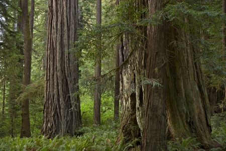 redwood: Northern California Redwood Forest. Old-growth Redwood Forest Closeup. California USA.
