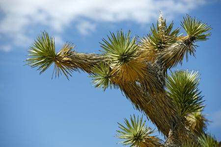 joshua: Joshua Trees and Wind Turbines, Mojave, CA  Southern California  Stock Photo