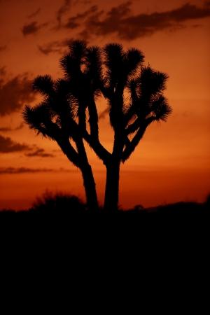 mojave: Desert Sunset - Joshua Trees. Mojave Desert, California, U.S.A.  Stock Photo