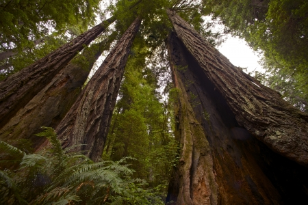 redwood: Coastal Redwood Forest - Northern California State, USA. Klamath, CA  Redwood Forest National Park. Nature Photo Collection.