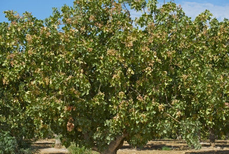 pistachios: Pistachio Trees - Pistachios ( Pistacia Vera ) Farm in Southern California, U.S.A.  Stock Photo