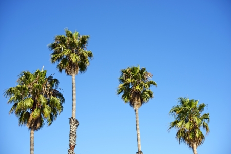 barbara: Four Palm Trees on Blue Sky. Santa Barbara, California, USA. Nature Photo Collection