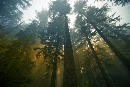 California State Coast Redwood   Sequoia Sempervirens   Forest in Fog  Northern California Forestry