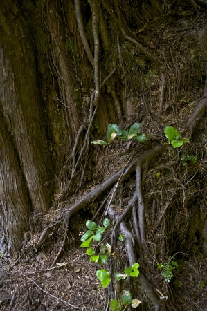 Rainforest Tree Roots Closeup. Washington Rainforest Theme. Nature Photo Collection.