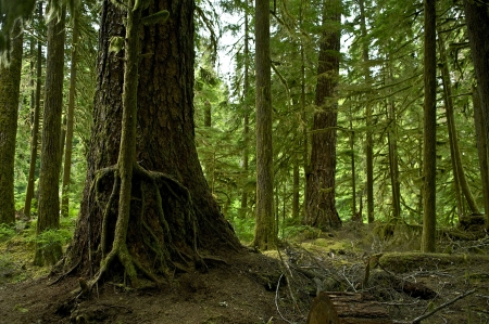 Mossy Washington Rainforest. Forest Scenery. Washington State Photo Collection. photo