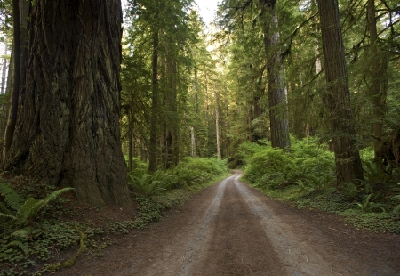 unpaved road: Redwood Forest Country Road. Unpaved Road Through Redwood. Northern California Redwood Forest, USA.