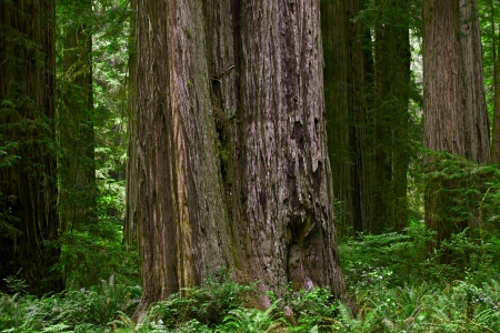 redwood: Forestry Theme. Redwood Forest of Northern California, USA. Forest Closeup. California Photo Collection. Stock Photo