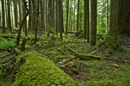 northwest: Mossy Olympic Rainforest - Pacific Northwest Rainforest. Olympic National Park, Washington, USA. Stock Photo