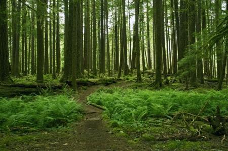 helechos: Green Mossy Forest Scenery - Olympic Peninsula, Washington, EE.UU.. Foto de archivo