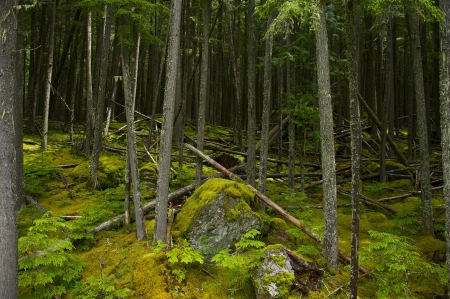 national plant: Montana Mossy Forest. Glacier National Park Forest. American National Parks Photo Collection.