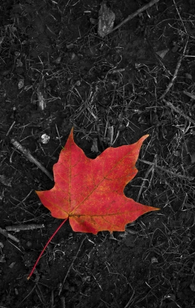 falling leaves: Last Leaf of the Fall. Red Maple Leaf on a Dark, Grayscale Ground. Autumn Photo Collection. Stock Photo