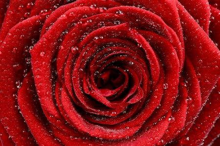 Red Rose Closeup. Beautiful Red Rose and Water Drops - Macro Photo. Macro Photography Collection.