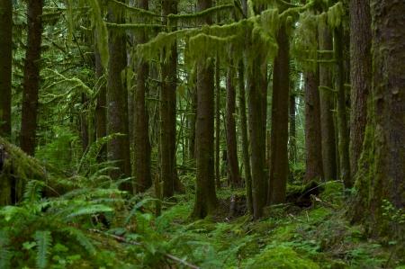 cedro: Nortwest Rainforest EE.UU.. Estado de Washington, EE.UU. Rainforest paisaje. Fotografía Colección Nature.
